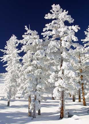 snow-trees-thumb