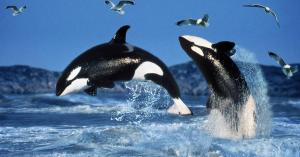orcas-jumping