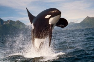 Awild orca, Kachemak Bay, Alaska