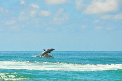 common-wild-dolphins-playing-in-gulf-florida-pictures-photos_med